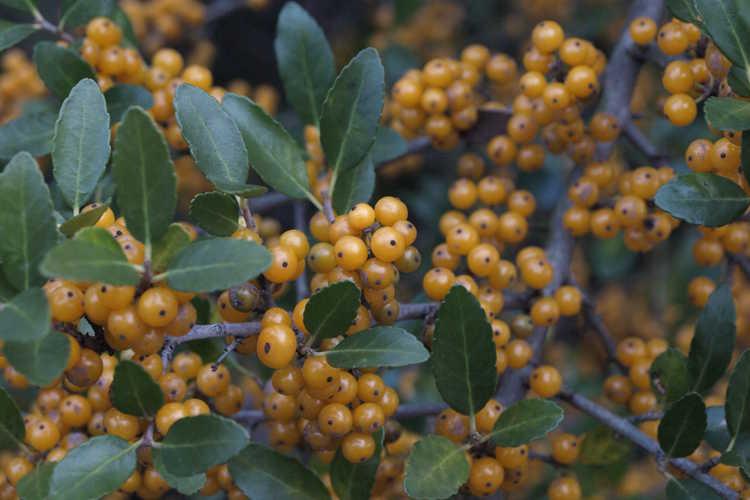Ilex vomitoria 'Yawkey' (yellow-berry yaupon holly)