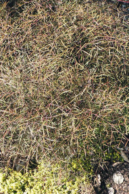 Nandina domestica 'Chidori' (threadleaf heavenly bamboo)