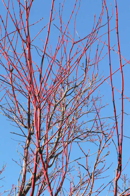 Acer palmatum 'Sango kaku' (coral-bark Japanese maple)