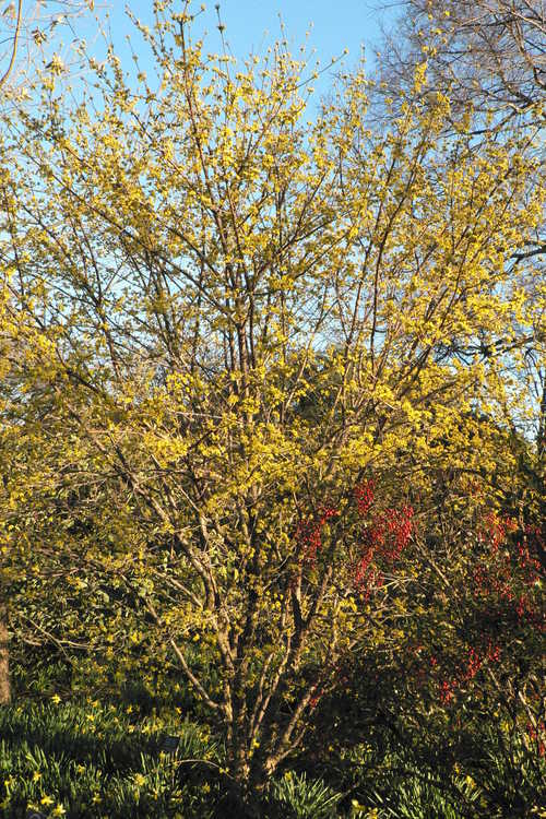 Cornus officinalis 'Spring Glow' (Cornelian cherry) - A JC Raulston Arboretum introduction