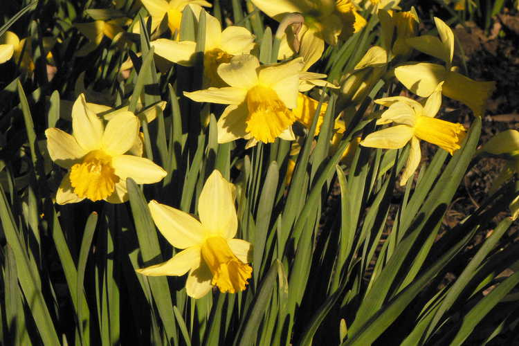 Narcissus 'February Gold' (cyclamineus daffodil) - Flowers reliably each February