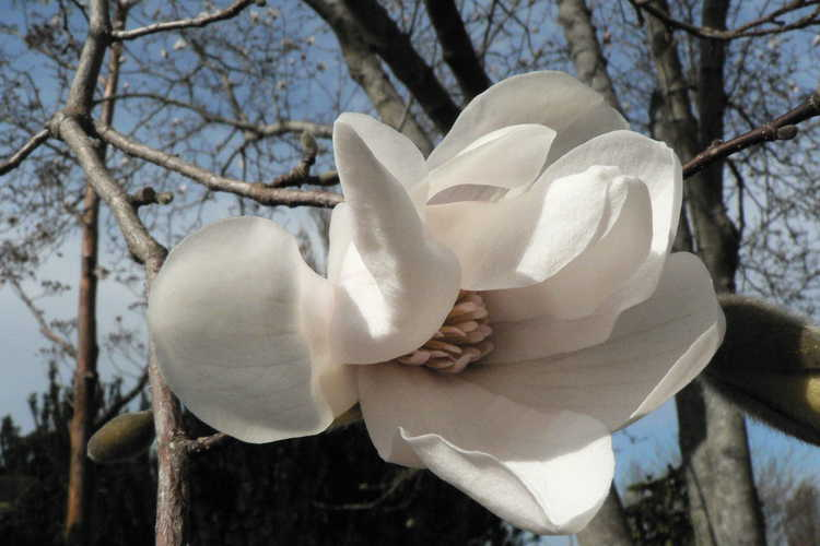 Magnolia ×loebneri 'Merrill' (Loebner magnolia) - A very early flowering magnolia