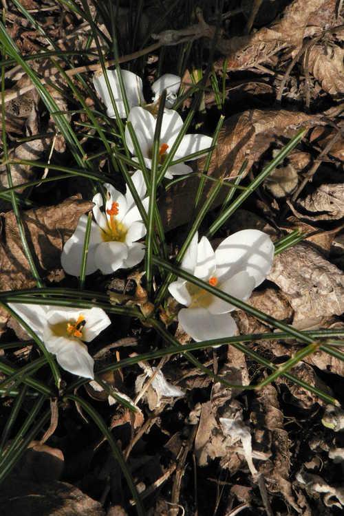 Crocus chrysanthus 'Ard Schenk' (spring crocus) - Named for a famous speed skater (Netherlands)