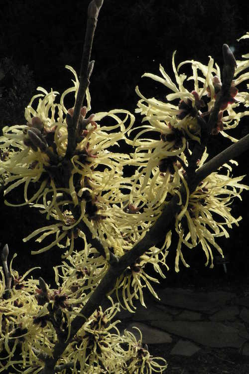 Hamamelis ×intermedia 'Sunburst' (common witchhazel) - Upright right, vase-shaped cultivar