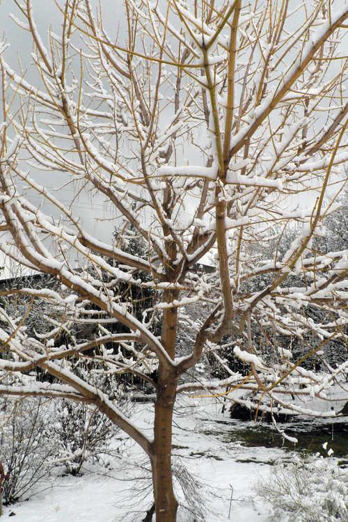Acer negundo 'Winter Lightning' (yellow-twig box-elder)