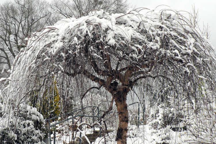 Betula nigra 'Summer Cascade' (weeping river birch)