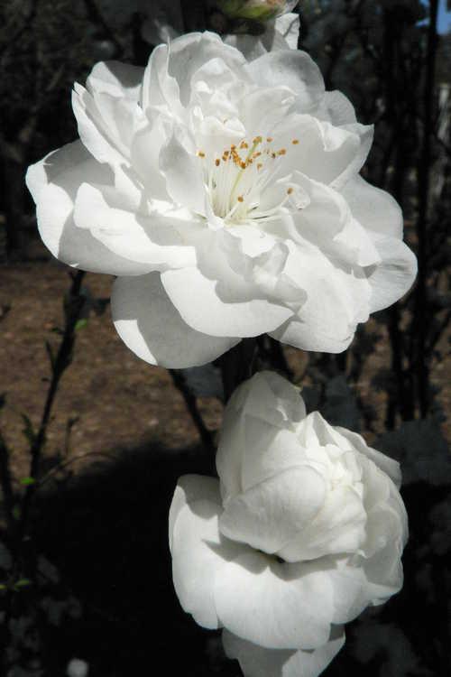Prunus persica 'Corinthian White' (columnar flowering peach)