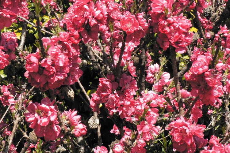 Prunus persica 'NCSU Dwarf Double Red' (dwarf flowering peach)