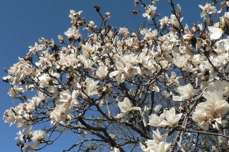 Magnolia 'Elisa Odenwald' (Gresham hybrid magnolia)