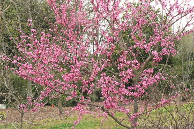 Cercis canadensis 'Pinkbud' (eastern redbud)