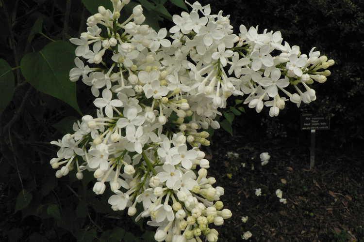 Syringa 'Betsy Ross' (hybrid lilac)