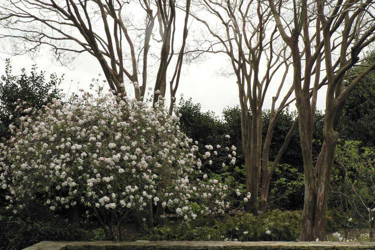 Lagerstroemia 'Natchez' (crepe myrtle) and Viburnum ×burkwoodii 'Mohawk' (Egolf hybrid Burkwood viburnum) - Klein-Pringle White Garden