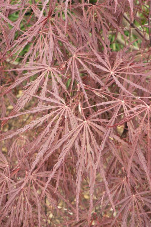 Acer palmatum Dissectum Atropurpureum Group (red lace-leaf Japanese maple)