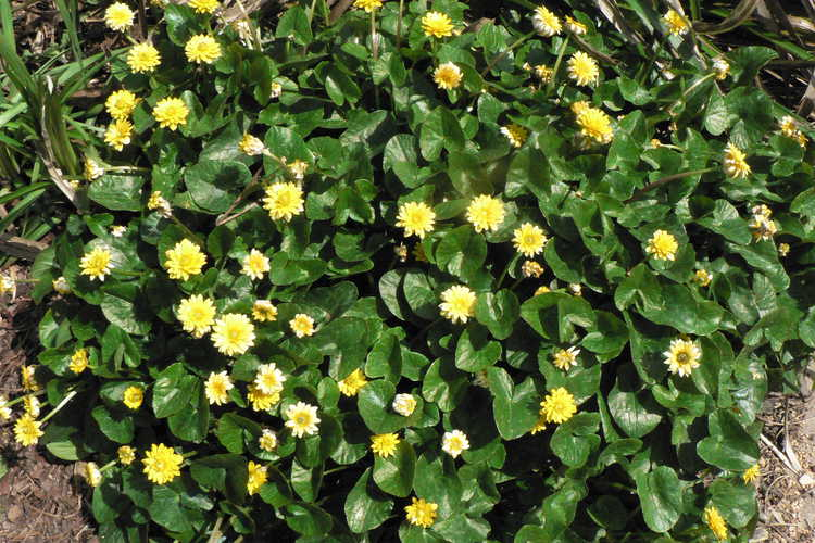 Ficaria verna Flore Pleno Group (double-flowered fig buttercup)