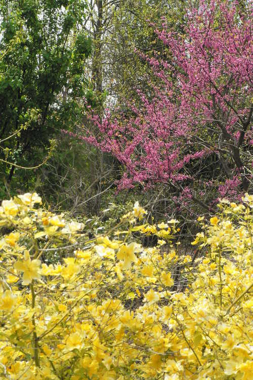 Cercis canadensis 'Pinkbud' (eastern redbud) and Kerria japonica 'Chiba Gold' (gold-leaf Japanese kerria)