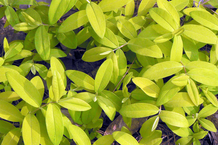 Hypericum calycinum 'Brigadoon' (St. John's wort)