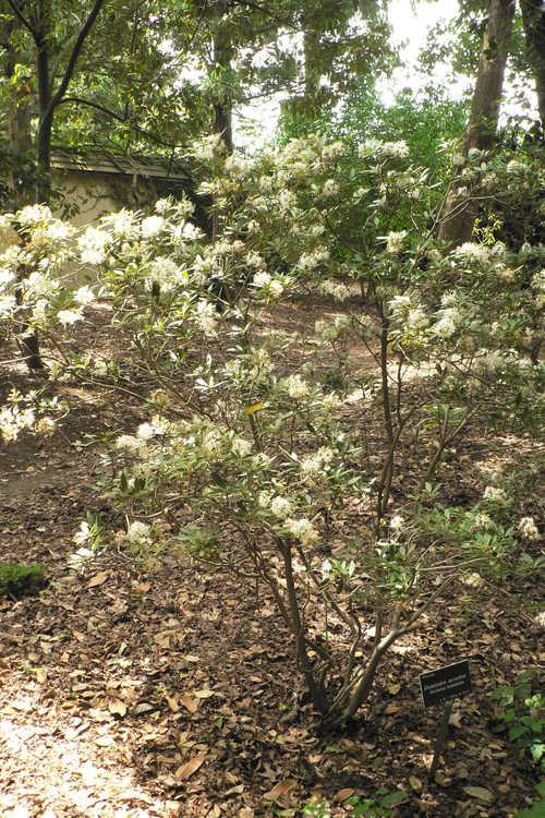 Rhododendron micranthum (Manchurian rhododendron)