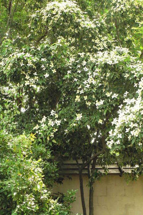 Cornus elliptica 'First Choice' (evergreen flowering dogwood)