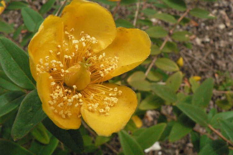 Hypericum hookerianum (Hooker's St. John's-wort)