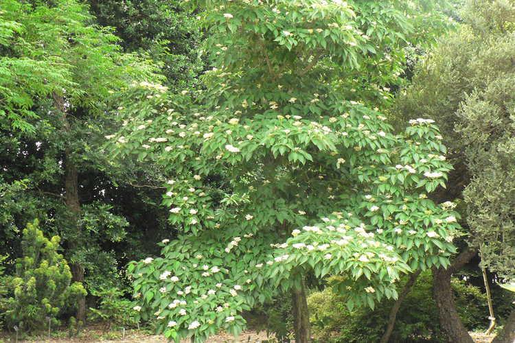Cornus macrophylla (bigleaf dogwood)