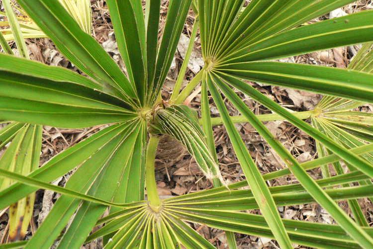 Trachycarpus takil (Kumaon Fan Palm)