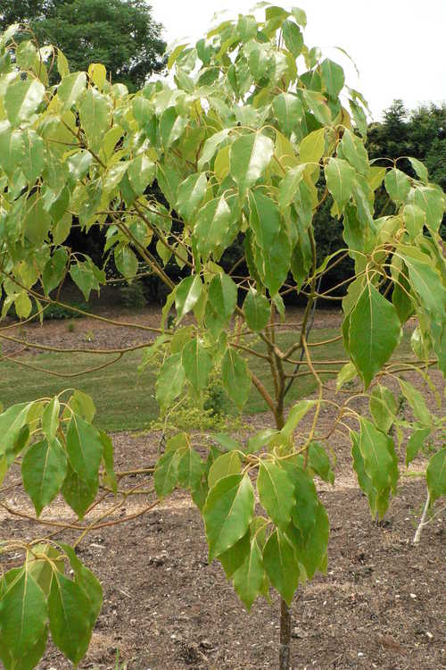 Cinnamomum camphora (camphor tree)