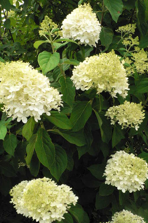 Hydrangea paniculata 'Limelight' (panicled hydrangea)