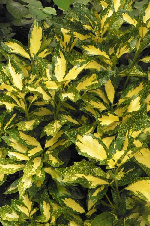 Aucuba japonica (Paul James seedling #6) (variegated Japanese aucuba)