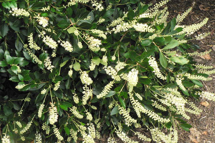 Clethra alnifolia 'Sotite' (White Dove dwarf summersweet clethra)