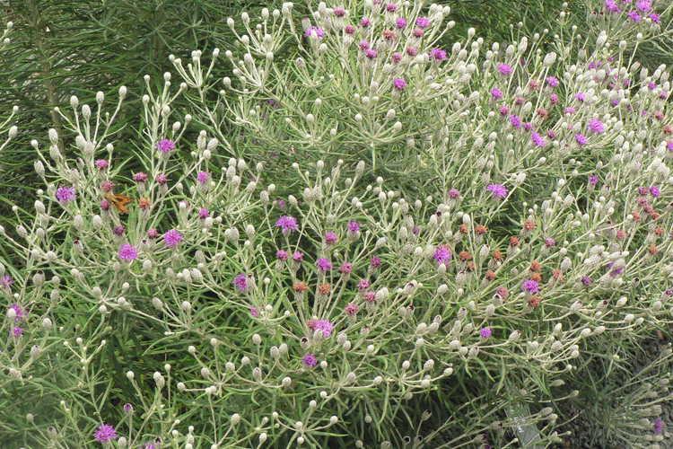 Vernonia lindheimeri (wooly ironweed)
