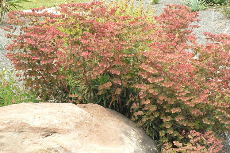 Euphorbia 'Canyon Gold' (spurge)