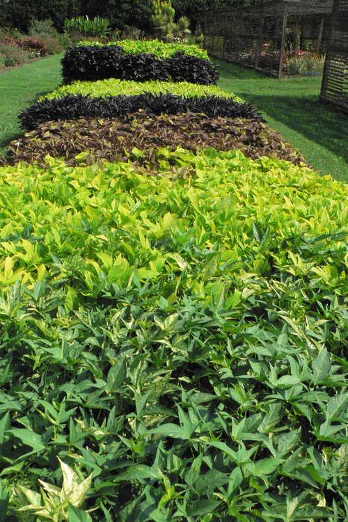 ornamental sweet potato trials