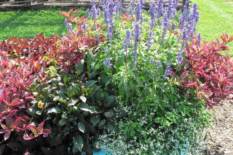 Salvia farinacea (Sallyfun Blue Emotion mealycup sage) - container trials