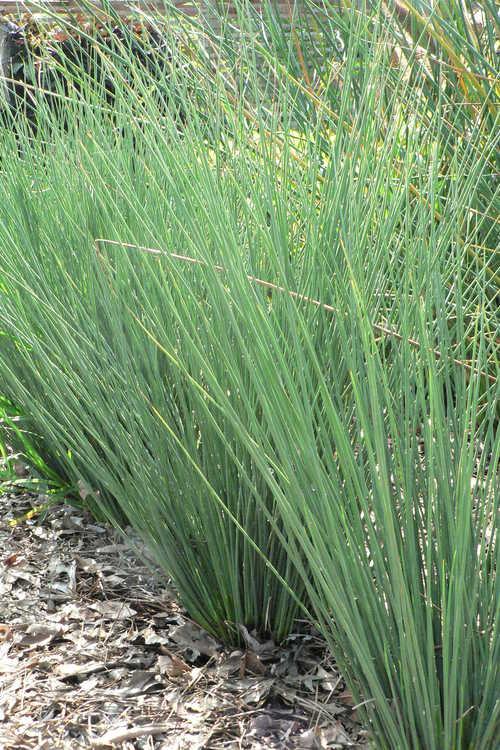 Juncus inflexus 'Blue Arrows' (European meadow rush)