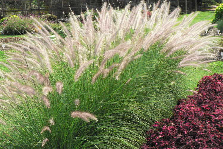 Pennisetum setaceum (fountain grass)