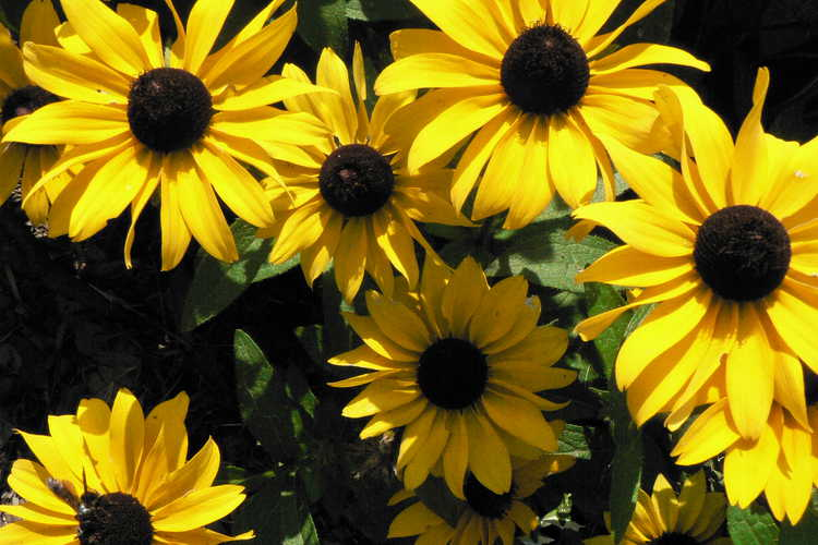 Rudbeckia 'Tiger Eye Gold' (hybrid black-eyed Susan)