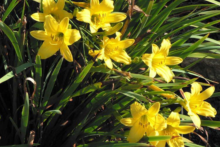 Hemerocallis 'Darrow' (daylily)