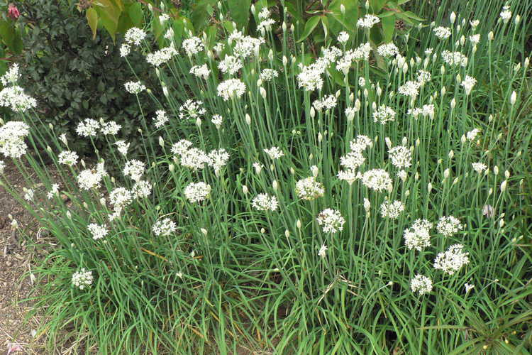 Allium tuberosum (garlic chives)