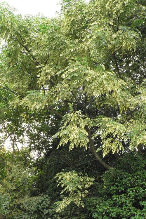 Melia azedarach 'Jade Snowflake' (variegated Chinaberry)