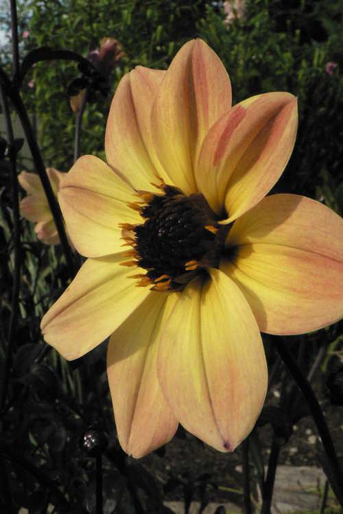 Dahlia 'Knockout' (Mystic Illusion garden dahlia)