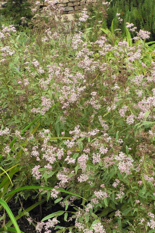 Eupatorium fortunei 'Pink Frost' (variegated Chinese eupatorium)