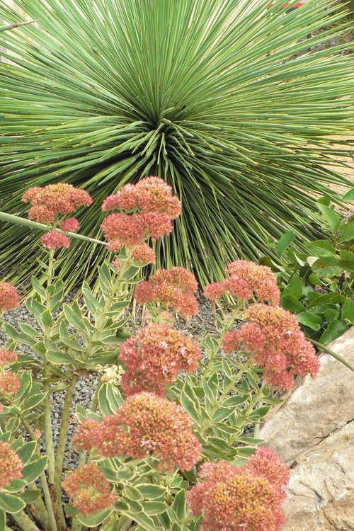 Sedum 'Lajos' (Autumn Charm variegated sedum) and Yucca linearifolia (narrow leaf yucca)