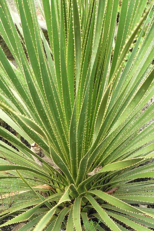 Dasylirion texanum (Texas sotol)