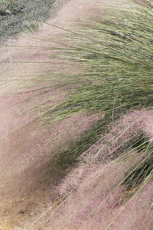 Muhlenbergia 'Pink Flamingos' (hybrid muhly grass)