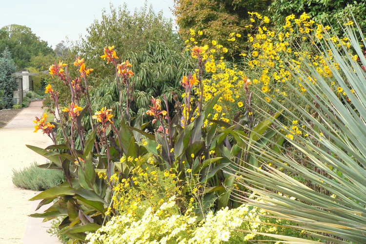 Canna 'Pacific Beauty' (canna-lily) and Chrysanthemum (15-501 yellow)
