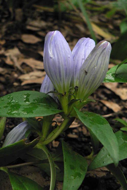Gentiana saponaria (soapwort gentian)