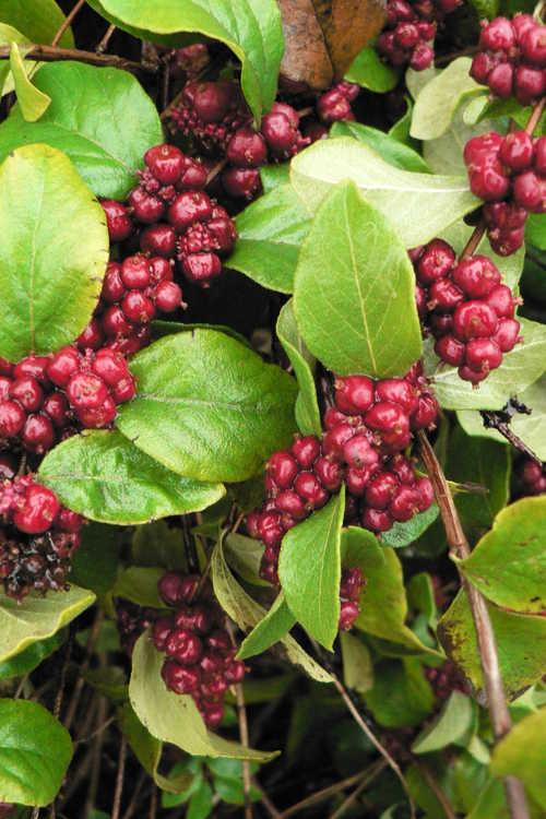Symphoricarpos orbiculatus 'Central Avenue' (coralberry)