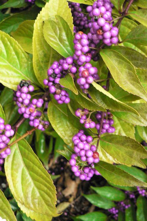 Callicarpa dichotoma 'Issai' (purple beautyberry)