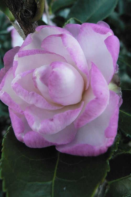 Camellia sasanqua 'Leslie Ann' (sasanqua camellia)