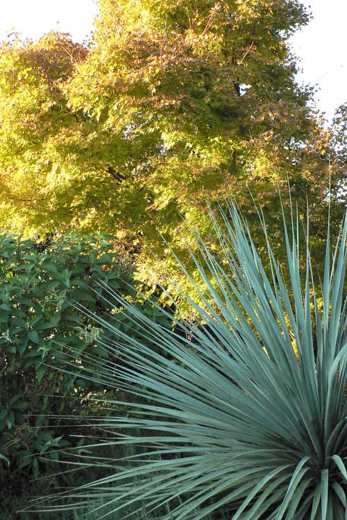 Acer palmatum 'Beni kawa' (coral-bark Japanese maple) and Nolina nelsonii (Nelson's blue bear-grass) - Perennial Border